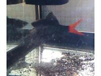 Red tail shark for sale its around 4 inches long