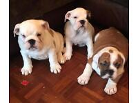 British bulldogs kc registered ready to go