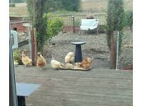 Romeo and Juliet (Chickens)