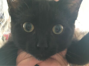 12 week old female kitten to give away