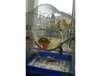 2 semi tame male budgies and large cage