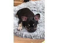 French Bulldog Puppies Fully Vaccinated Ready Now