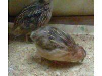 2 free quails