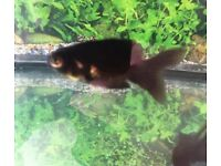 Black Moor Fantail Gold Fish ( COLD WATER )