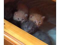 Russian Blue Cross Kittens