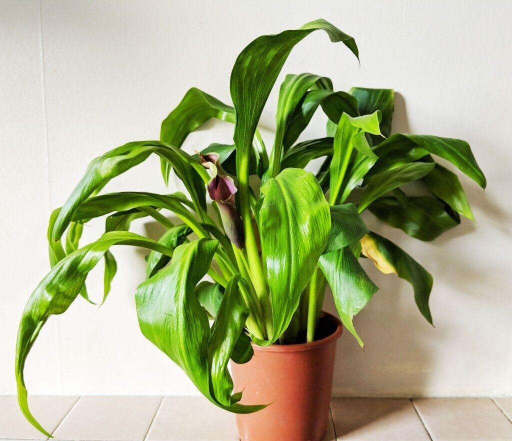 Calla Lily Indoor Plants