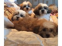 Shih tzu X Bichon ONE GIRL LEFT