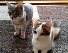 Rescue kittens-Hunter Valley Cat Haven Kurri Kurri Cessnock Area Preview