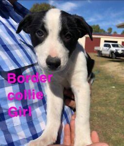 Purebred border collie & Kelpie x Collie pups for sale!
