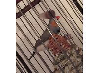 Male Zebra Finch, FREE to good home.