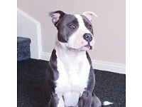 Blue and white staffy, 11 months