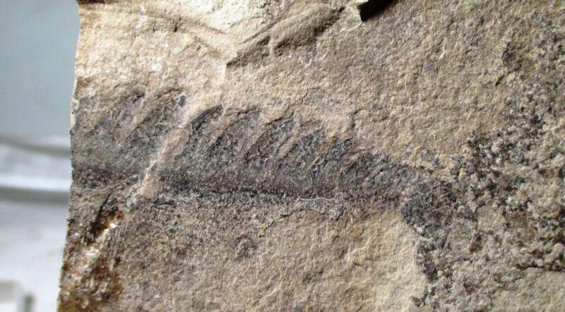 Huge Pterygotus serrated appendage - 6 cm - eurypterid NY fossil sea scorpion