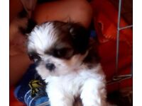 Shihtzu for sale 3 boys