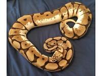 Large Adult Bumblebee Female Royal Python / Snake