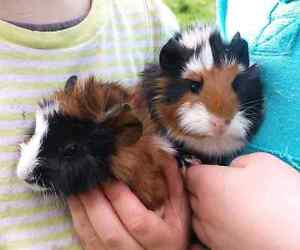 7 baby guinea pigs Lancefield Macedon Ranges Preview