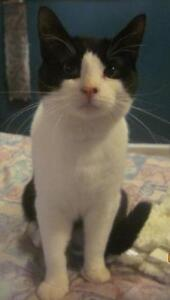 """Adult Male Cat - Domestic Short Hair-black and white: """"Calin"""""""
