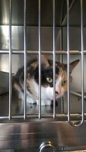 "Adult Female Cat - Domestic Short Hair: ""Brandy"""
