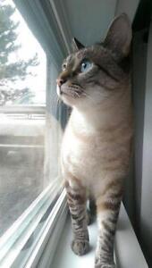 "Adult Female Cat - Domestic Short Hair: ""Bellatrix"""