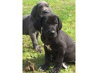 Beautiful Great Dane Pups