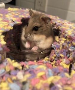 Female Campbell's Dwarf Hamster
