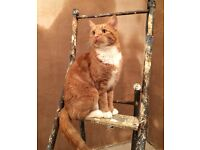 Ginger Cat Missing From Sevenoaks High Street