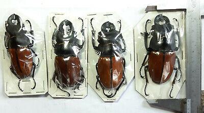 Cabinet de curiosités Globe Insecte Odontolabis striata cephalotes d/'Indonesie!