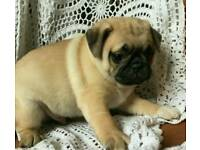 ***CUDDLY AND WRINKLY 3/4 PUG PUPPIES***
