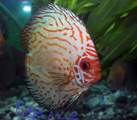 Discus fish pair