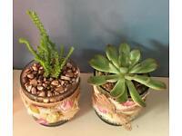 Sempivivum planted arrangement