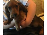 Lovely dachshund puppy