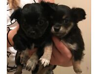 Kc registered chihuahua Long coat puppy's