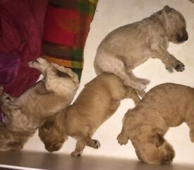 Beautiful red and white Goldendoodle Puppies