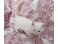 Bengal x Ragdoll kitten for sale