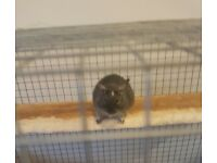 3 lovely male degu, very friendly. Cage, accessories, food, hay and sawdust included. Very sad sale.