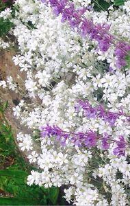 Snow In Summer Cerastium Tormentosum Perennial Rockery Plant 3 FOR £7.00 9cm Pot