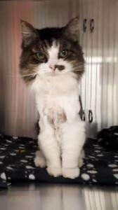 "Senior Female Cat - Domestic Long Hair: ""Marley"""