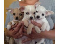 Chihuahua puppy , 1 little boy left