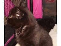 11-week old KITTENS with POINTED EARS - I could deliver to you