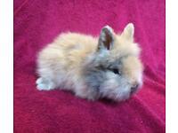 Baby purebred lionhead rabbit