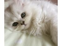 Beautiful Chinchilla Persian kittens