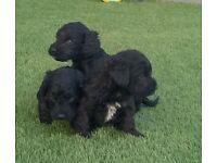 Springadoodle pups