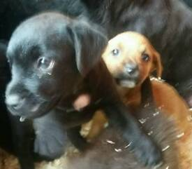 Patterdale pups