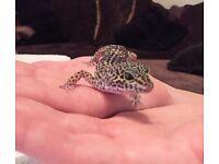 Leopard gecko full set up with vivarium