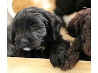 Gorgeous F1 PRA-pcd clear Cockapoo puppies