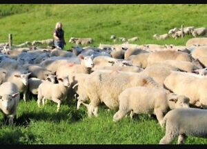 Will buy sheep . Sheep wanted