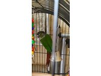 conure parrot and cage