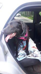"""Young Female Dog - Labrador Retriever: """"Molly"""""""