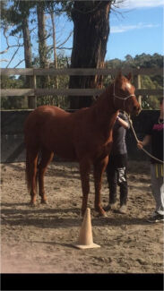 3yo Registered Qh gelding Berwick Casey Area Preview