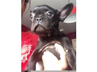 Stunning KC Registered French Bulldog Bitch Puppy. Reduced Price!!