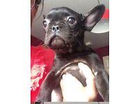 French Bulldog KC Reg Puppy.
